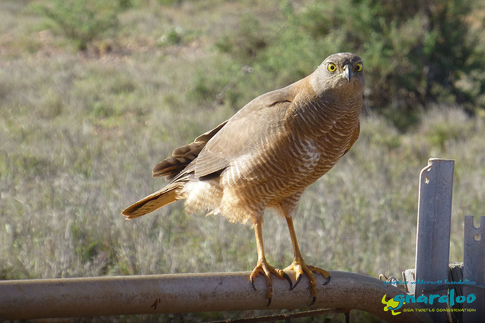 Brown Goshawk - Gnaraloo Wildlife Species