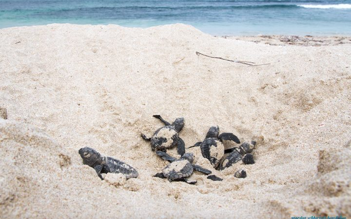 Call For Gnaraloo Turtle Nesting Areas To Be Recognized In Legislation As Turtle Sanctuary Areas.