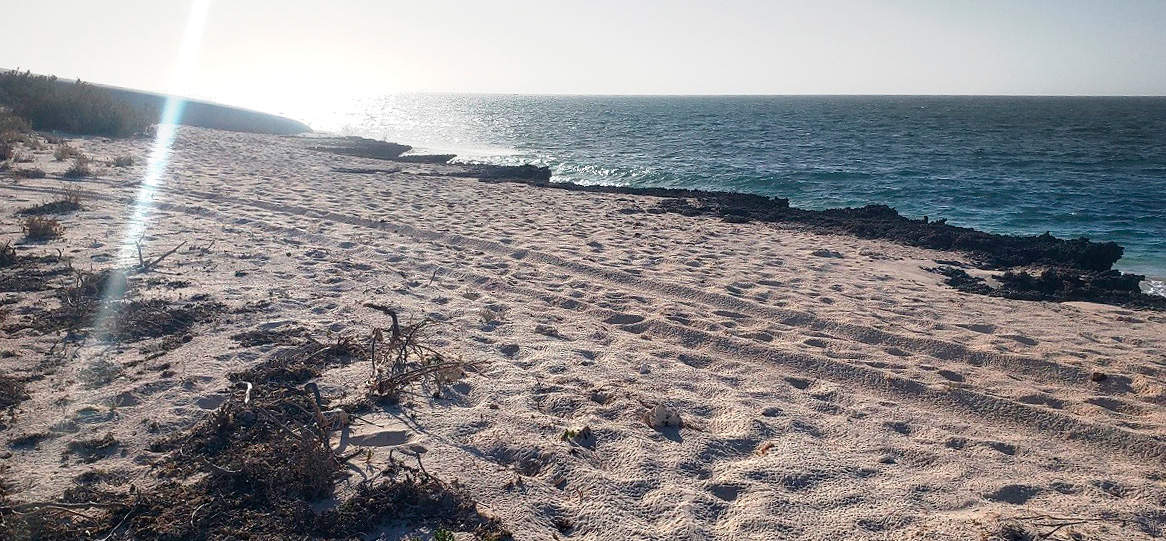 New 4WD tracks in the Gnaraloo Cape Farquhar Turtle Rookery which are hazardous to its turtles – January 2021
